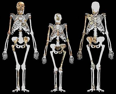 Australopithecus sediba compared to Lucy