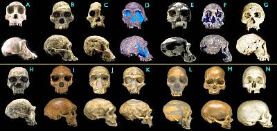 Talk Origin's Hominid Skull Comparison