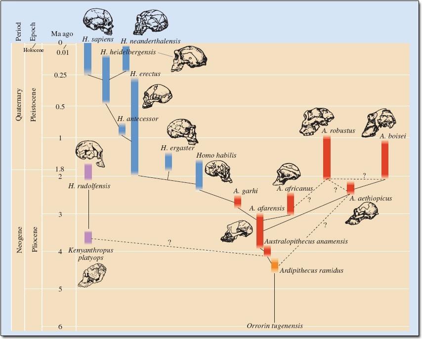 Jeff's Lunchbreak: Understanding Evolution - How Humans ...
