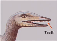 Hovind's Archaeopteryx Teeth Slide