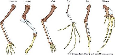 Similarity of Vertebrate Limbs