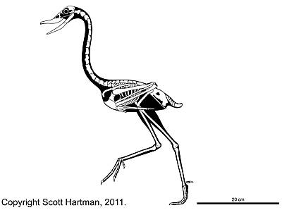 Scott Hartman's Presbyornis Skeleton Drawing