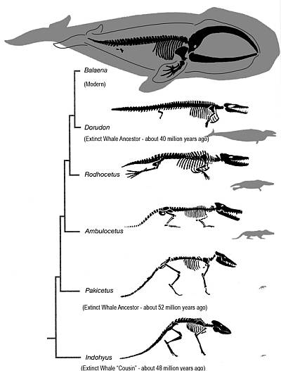 Whale Cladogram
